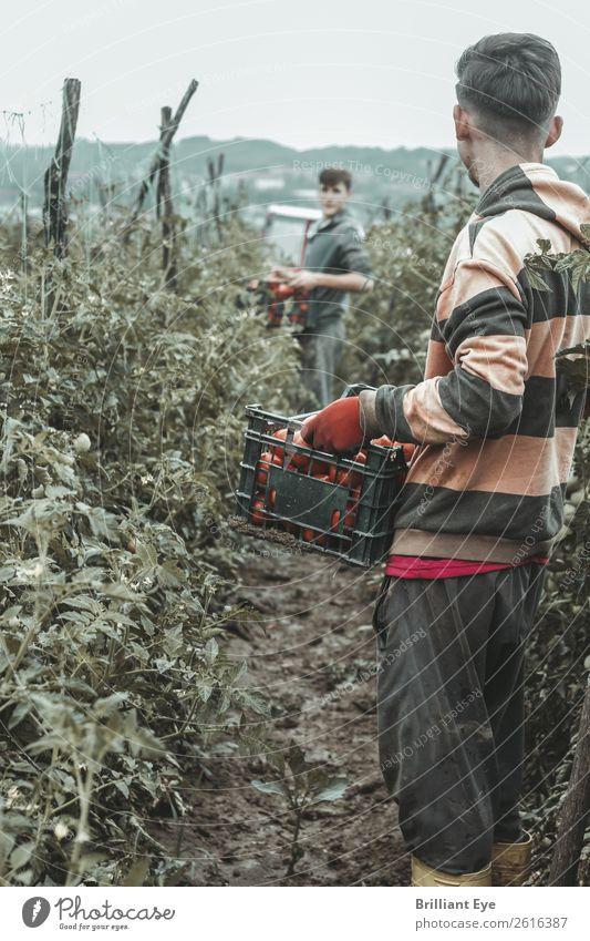 Alles eingesammelt Gemüse Frucht Tomate Ernährung Bioprodukte Lifestyle Arbeit & Erwerbstätigkeit Beruf Feld Plantage Landwirtschaft Forstwirtschaft