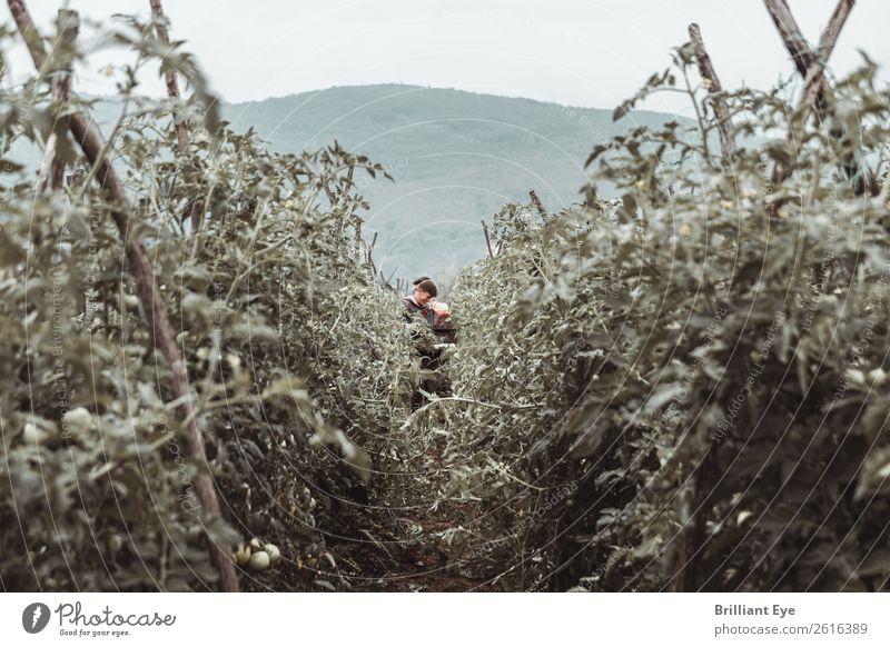 Blickpunkt Erntesammler Gemüse Tomate Bioprodukte Sommer Erntehelfer Landwirtschaft Forstwirtschaft Mensch maskulin Junger Mann Jugendliche 18-30 Jahre