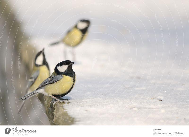 drei Umwelt Natur Tier Schnee Wildtier Vogel 3 gelb weiß Meisen Singvögel Mauer Farbfoto Außenaufnahme Menschenleer Textfreiraum rechts Tag