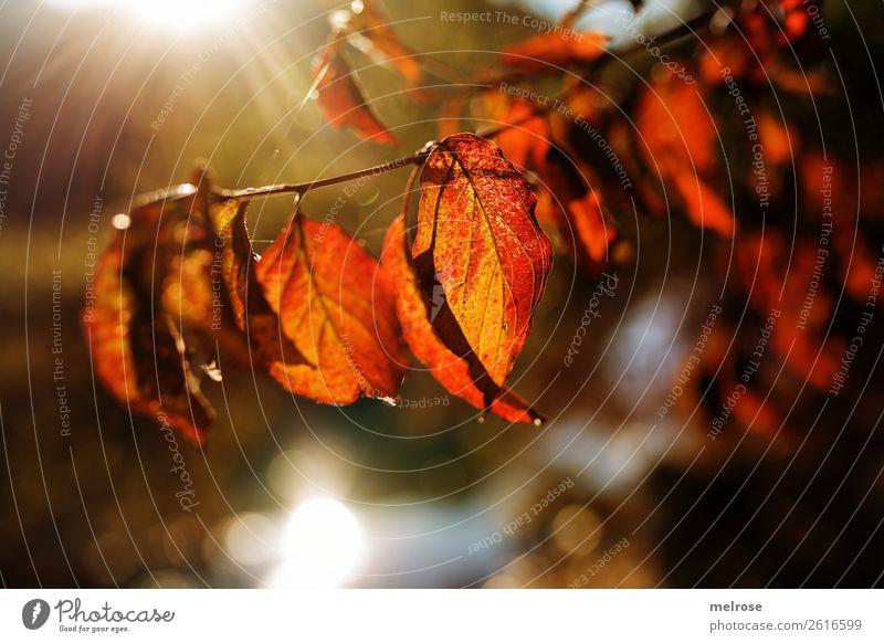 900stes !!! Leuchtende Blätter mit Bokeh Natur Farbe Wasser rot Blatt Herbst Umwelt braun wandern leuchten träumen gold glänzend Lebensfreude Perspektive