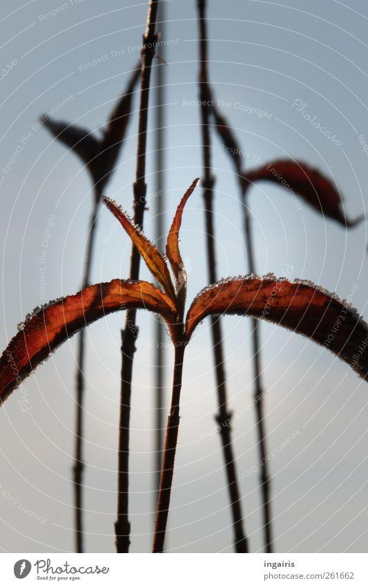 Frostiges Laub Pflanze Himmel Winter Klima Eis Sträucher Blatt Stengel Herbstlaub Eiskristall dehydrieren Wachstum ästhetisch natürlich trist trocken Wärme blau