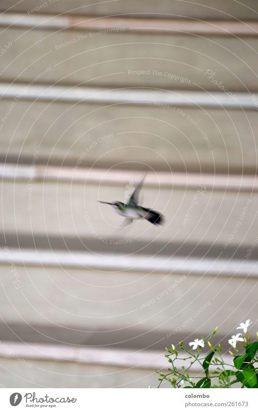 Kolibri Natur schön Ferien & Urlaub & Reisen Pflanze Tier Luft Linie Vogel fliegen Geschwindigkeit Streifen Flügel Lebensfreude Ausdauer fleißig Grünpflanze