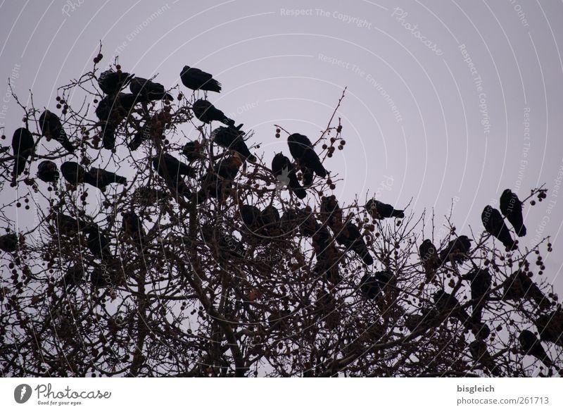 The Birds Baum Vogel Schwarm sitzen schwarz Krähe Farbfoto Gedeckte Farben Außenaufnahme Menschenleer Abend Dämmerung