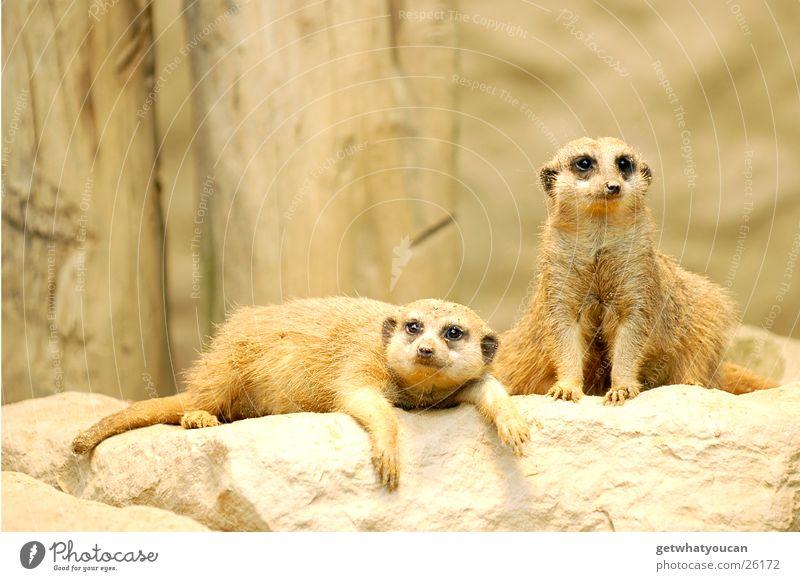 Kifferbrut Tier Erholung Stein Sand schlafen Zoo Gehege Erdmännchen