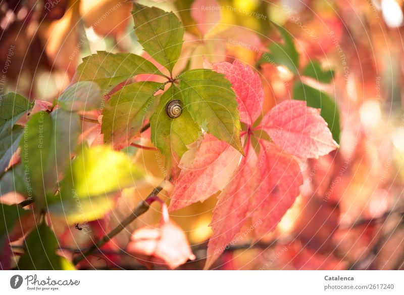 Schnirkelschnecke im Herbst Natur Pflanze Blüte Wilder Wein Blatt Ranke Garten Schnecke 1 Tier leuchten dehydrieren schön klein natürlich braun gelb grün orange