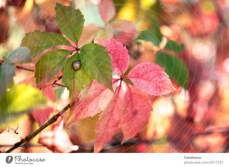Eine kleine Schnirkelschnecke klebt an einem Blatt des Wilden Wein Natur Flora Fauna Tier Schnecke Pfanze Rankpflanze Wilder Wein Weinrebegewächse wachsen