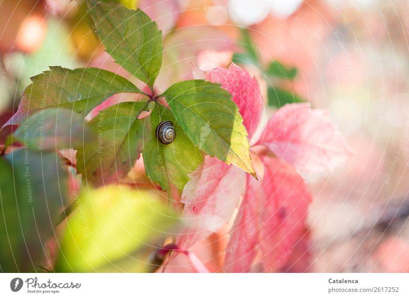 Schnirkelschnecke auf einem Wilden Weinrebeblatt Pflanze Tier Herbst Blatt Wilde Weinrebe Garten Wald Schnecke 1 Schneckenhaus hängen schön klein braun gelb