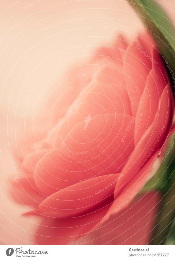 Camellia schön Pflanze Sommer Blume Blüte Frühling rosa weich zart Blühend sanft Blütenblatt Blütenkelch Blütenpflanze