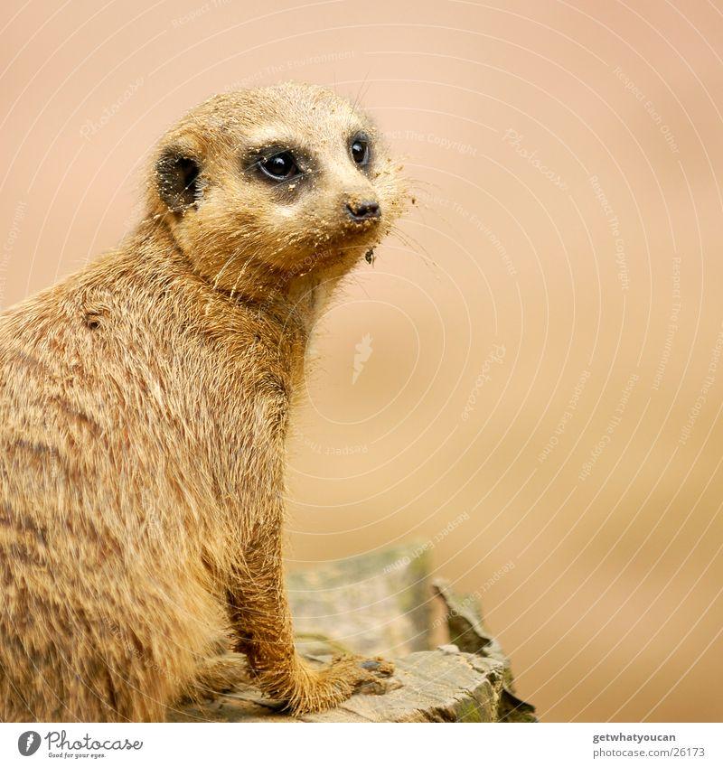 Der Gaffer Tier Erdmännchen Zoo Gehege gefangen Blick Neugier Fell Tiefenschärfe interressiert Sand dreckig Auge Nase