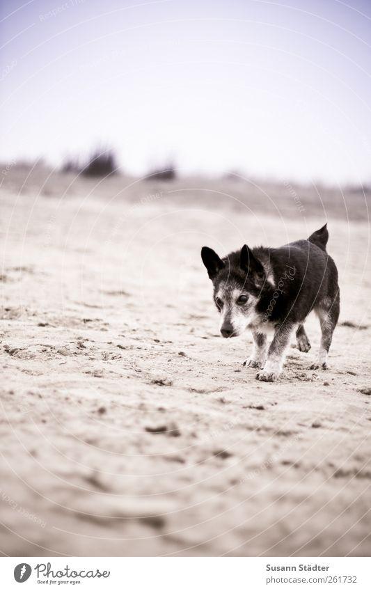 axelboy Tier Haustier Hund 1 laufen Spiekeroog Sand Strand Hundeblick alt grau pflegebedürftig Ganzkörperaufnahme Laufsport Gassi gehen Spaziergang Farbfoto