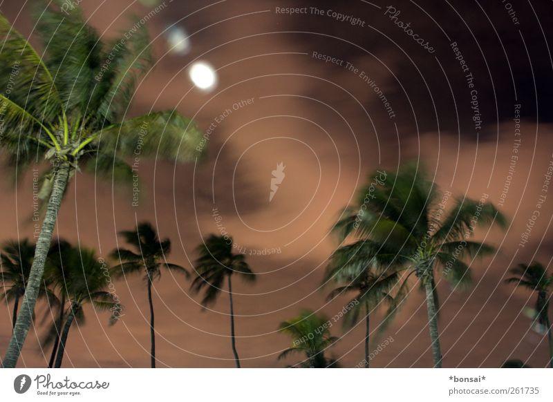 stürmisch Ferien & Urlaub & Reisen Natur Pflanze Himmel Wolken Nachthimmel Wind Sturm Baum exotisch Palme Bewegung dunkel groß hoch natürlich wild Kraft