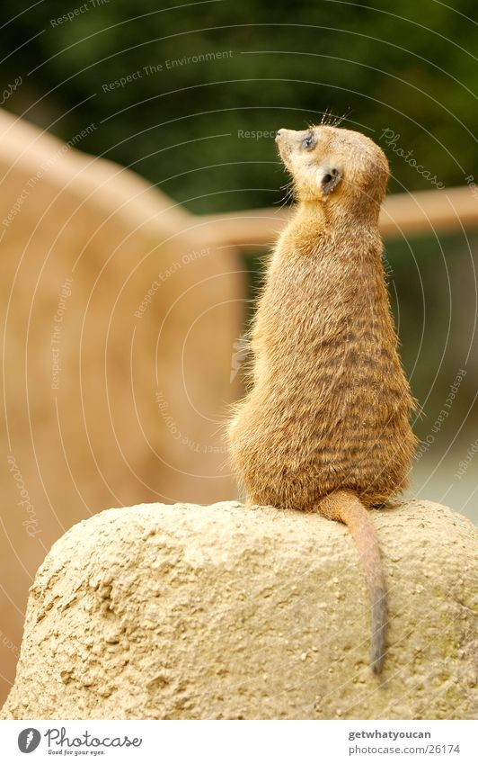 Der Hyperaktive ruhig Tier Stein Felsen sitzen stehen Afrika Zoo gefangen Tiefenschärfe Schwanz bewegungslos Aufenthalt Gehege Erdmännchen