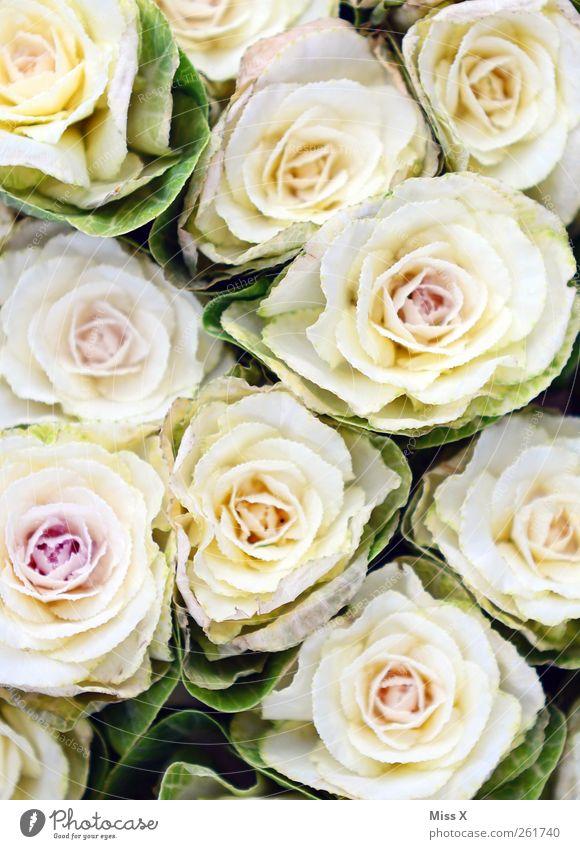 Valentinsverspätung Valentinstag Muttertag Frühling Sommer Blume Rose Blüte Blühend Duft rosa weiß Liebesbekundung Blumenstrauß Geschenk Farbfoto Nahaufnahme