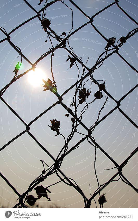 Glühblümchen Pflanze Himmel Sonne Sonnenlicht Blüte Ranke Kletterpflanzen Menschenleer Garten Drahtzaun Maschendraht Maschendrahtzaun Gitternetz Metall Zeichen