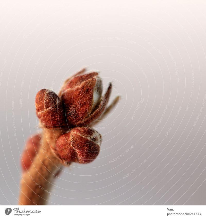 bald kommt der Frühling... Natur rot Pflanze Winter Umwelt Wiese kalt Sträucher weich Stengel Zweig Blattknospe Wildpflanze