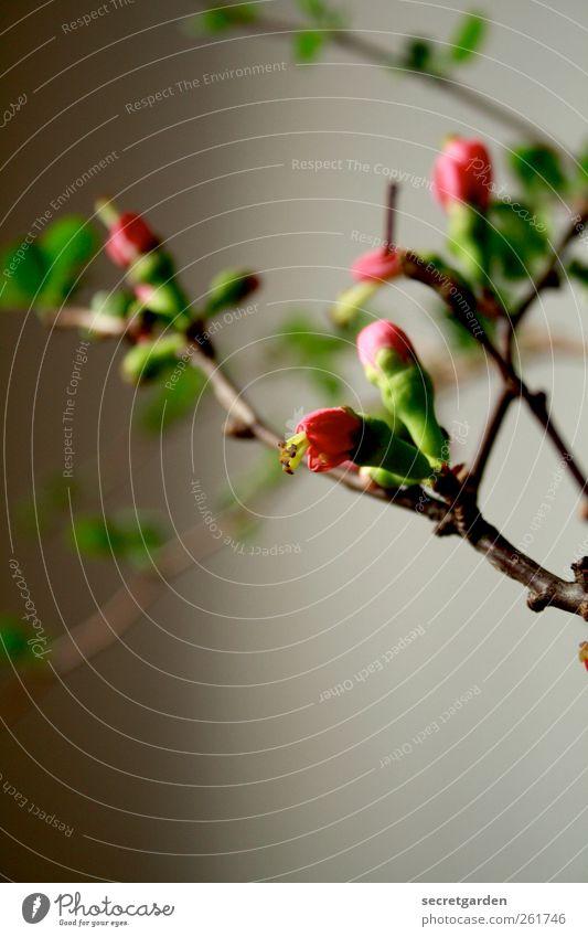 äthetische verästelung. Wohnung Raum Wohnzimmer Valentinstag Muttertag Pflanze Frühling Grünpflanze Blumenstrauß Blühend Wachstum braun grün rosa ästhetisch Ast