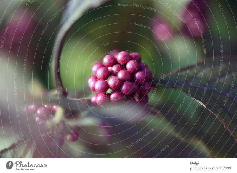 lila Perlen und Blätter am Liebesperlenstrauch Umwelt Natur Pflanze Herbst Sträucher Blatt Frucht Zierpflanze Garten dehydrieren Wachstum authentisch