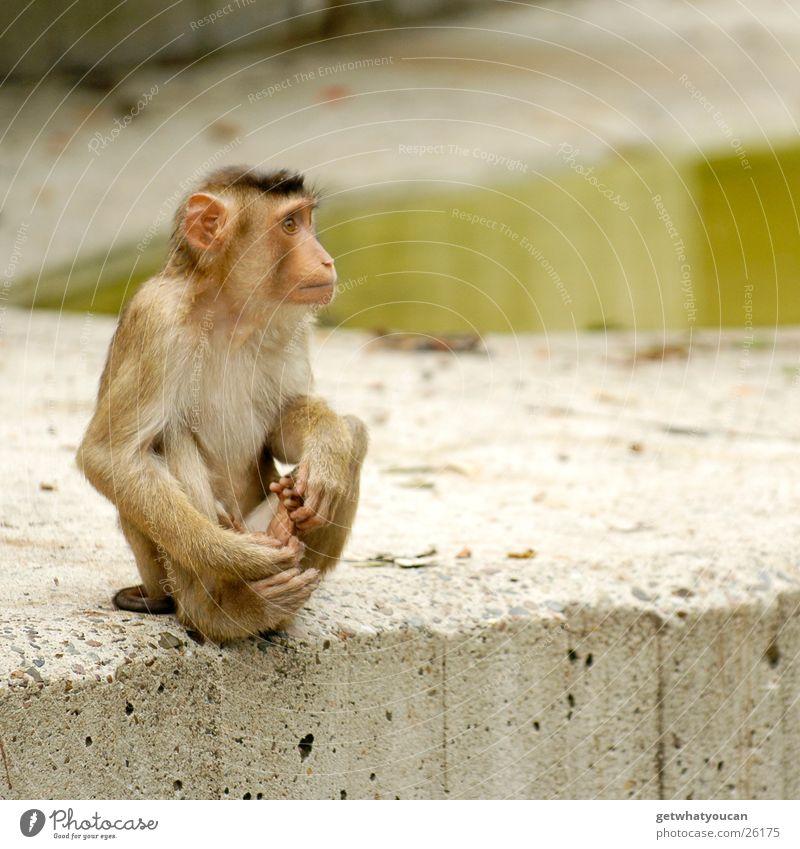 Der Aussenseiter Tier Affen Gehege Zoo gefangen Ecke hocken Blick Einsamkeit Teich Beton Afrika tollpatschig Felsen sitzen aussperren Wasser