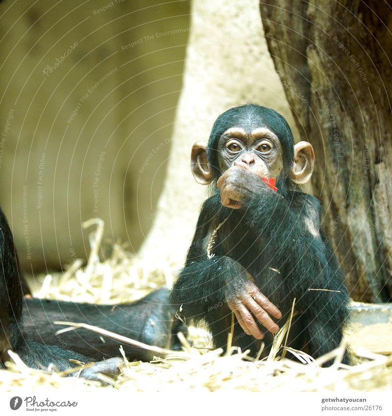 Ape Tier Affen Schimpansen gefangen Mensch Ernährung Spielen Stroh Tiefenschärfe Glas Lebensmittel Denken Blick Auge