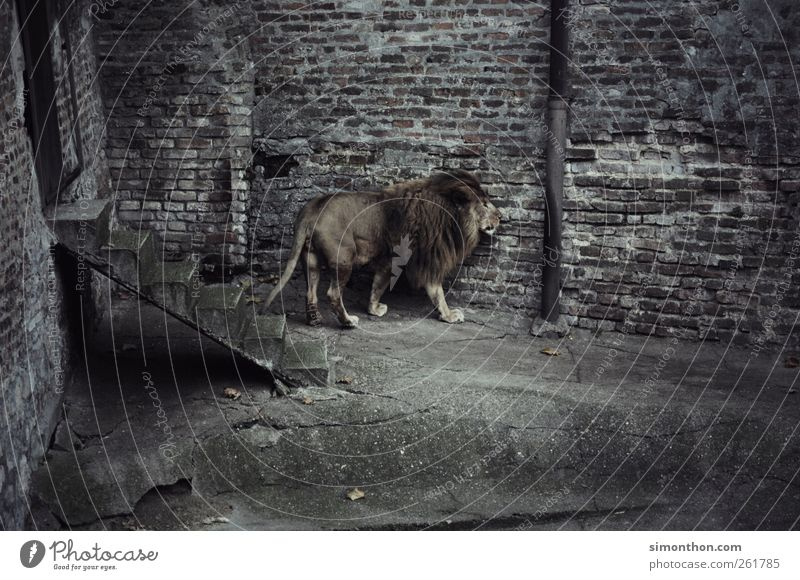 einsamer löwe Tier Kraft Angst elegant Wildtier Abenteuer ästhetisch Hoffnung Fell Zoo Langeweile Platzangst Krise verstört