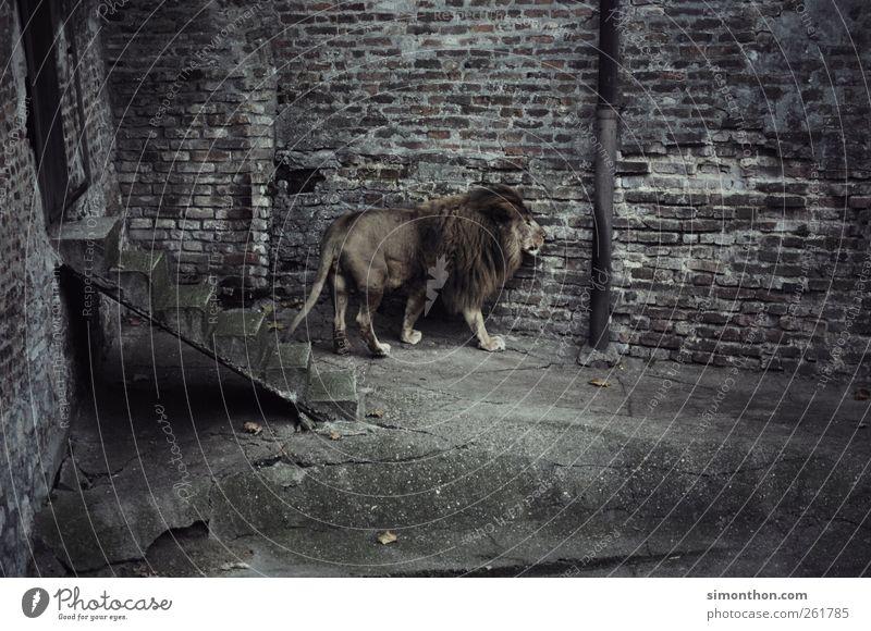einsamer löwe Wildtier Fell Zoo 1 Tier Platzangst verstört Abenteuer Angst ästhetisch elegant Hoffnung Kraft Krise Langeweile Löwe Gedeckte Farben Außenaufnahme