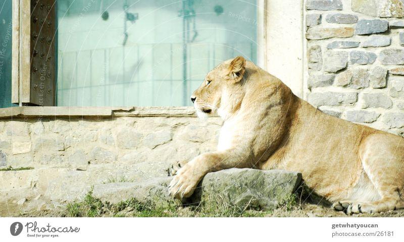 Der Proll Tier Löwe Landraubtier Katze Afrika Steppe Gehege gefangen ruhig Blick beobachten gefährlich Zoo Haus Wand Zufriedenheit Kontrolle prollig Macht
