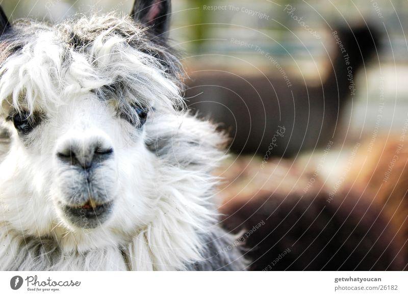 Der Beatles größter Fan Tier Südamerika Gehege Zoo Haare & Frisuren Wolle Matten dumm niedlich Unschärfe gefangen erstaunt Vordergrund Lama Auge Mund Blick