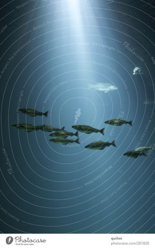 Fischschwarm blau Wasser Sonne Meer dunkel kalt See hell Zusammensein geschlossen glänzend nass bedrohlich Tiergruppe Urelemente