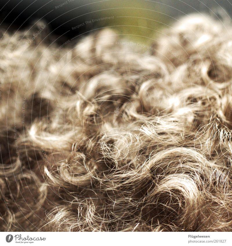 Sie nannten ihn Löckchen Haare & Frisuren niedlich Fell Vorleger Teppich Schere Haarschnitt Haarsträhne Haarschopf Haare schneiden Haarband Locken Lockenwickler