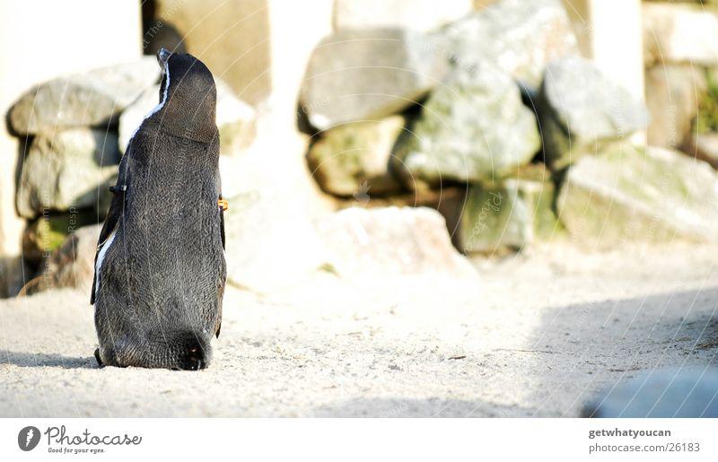 Der Solist Tier Pinguin Vogel Gehege Zoo gefangen Einsamkeit stehen Blick schwarz Teich niedlich trotzig Rücken Coolness Zufriedenheit Flügel Wasser Sand Felsen