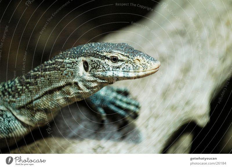 Drachenrast Teil2 Tier Warane Reptil Echte Eidechsen Terrarium gefangen Gelassenheit Wachsamkeit Blick beobachten Baum Wetter Unschärfe ruhig Jagd