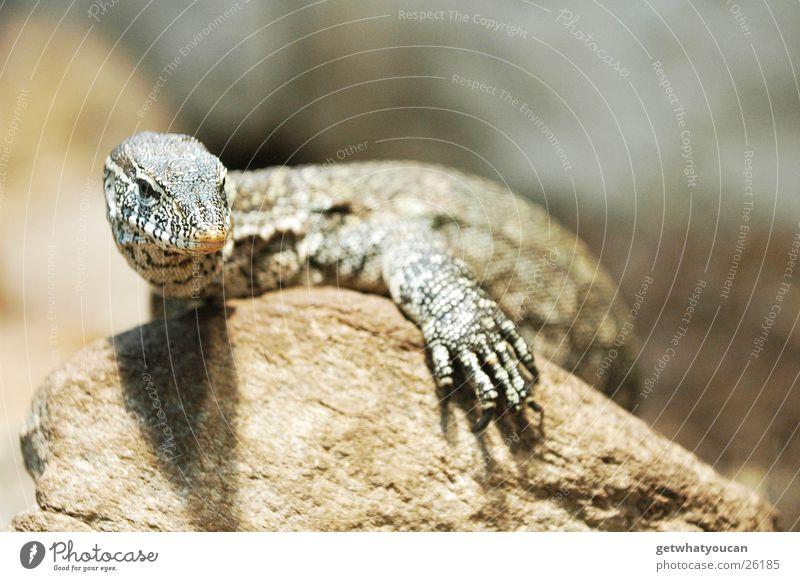 Drachenrast Teil1 Tier Warane Reptil Echte Eidechsen Terrarium gefangen Gelassenheit Blick Zoo Physik Unschärfe Krallen beobachten Zufriedenheit ruhig Stein