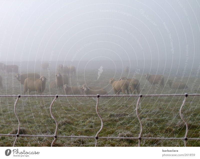 Schafwolle hält warm Winter Nebel Eis Frost Wiese Feld Weide Schafherde Tiergruppe Herde Weidezaun kalt Klima Natur Überleben Gedeckte Farben Außenaufnahme