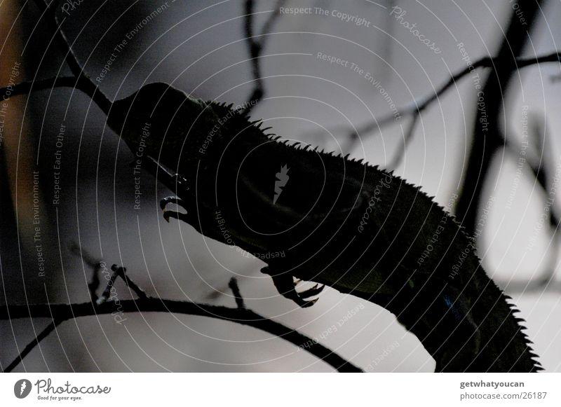Schattenparker Baum ruhig schwarz Tier dunkel warten sitzen Sträucher Ast Langeweile Drache Reptil hocken Höhle Leguane
