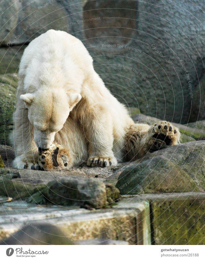 Lecker Fußgelecke Tier Eisbär kalt Fell weiß Zoo Landraubtier gefährlich Pfote Krallen lutschen Reinigen Sauberkeit dreckig hocken niedlich groß Langeweile flau