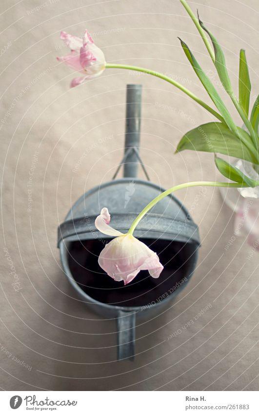 BlumenFreude Lifestyle Frühling Tulpe Gießkanne Blühend hängen verblüht ästhetisch hell rosa silber Lebensfreude Frühlingsgefühle Blumenstrauß Stillleben zart