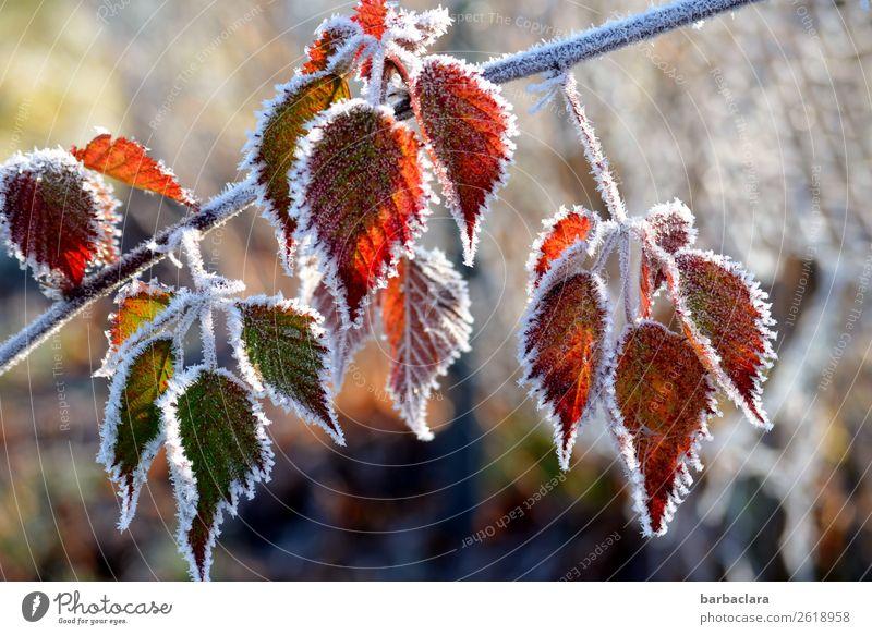 Verwandlung | Herbstblätter bekommen einen Frostmantel Natur Pflanze Winter Eis Baum Sträucher Blatt Garten frieren leuchten kalt grün rot weiß Stimmung