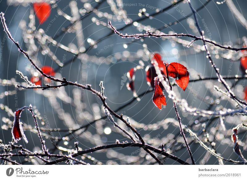 Der Herbst verabschiedet sich Natur Pflanze Wasser Winter Klima Eis Frost Sträucher Blatt Zweige u. Äste Park Netzwerk Tropfen leuchten blau rot weiß Stimmung