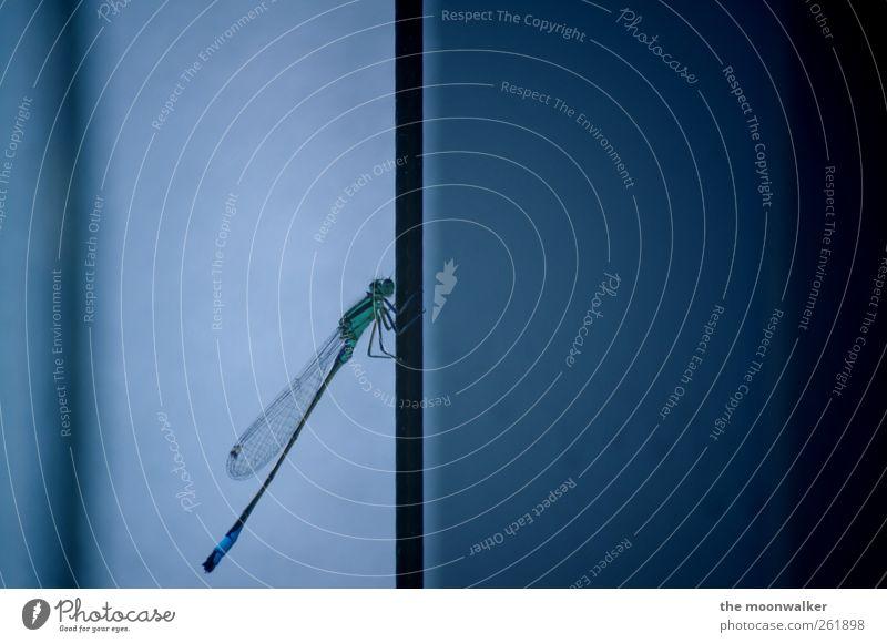 blue helicopter Tier Flügel Libelle 1 sitzen kalt blau Frühlingsgefühle Farbfoto Gedeckte Farben Nahaufnahme Textfreiraum rechts Schatten Zentralperspektive