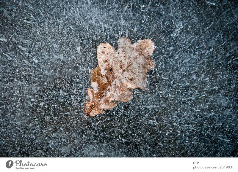 blatteis Natur Winter Blatt Umwelt See braun Eis Frost Urelemente deutlich skurril bizarr gefangen Luftblase Eisfläche eingeschlossen