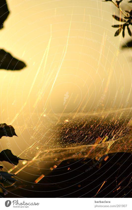 zu Gold spinnen Himmel Natur Pflanze Sonne Blatt Tier schwarz Garten Luft gold natürlich Fliege ästhetisch Sträucher fantastisch bizarr