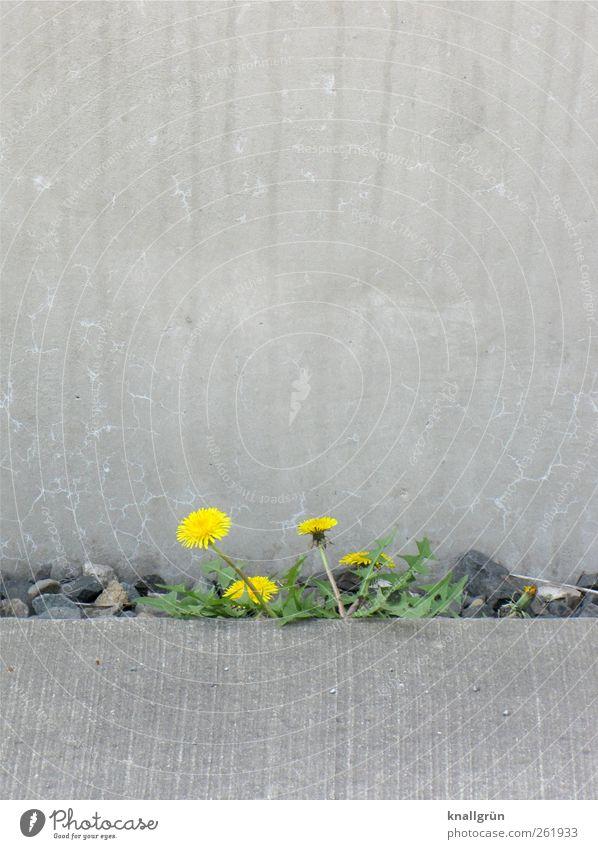 Das Leben ist bunt Umwelt Natur Pflanze Sommer Wildpflanze Löwenzahn Mauer Wand Blühend Wachstum Stadt wild gelb grau grün Gefühle Stimmung Kraft Hoffnung