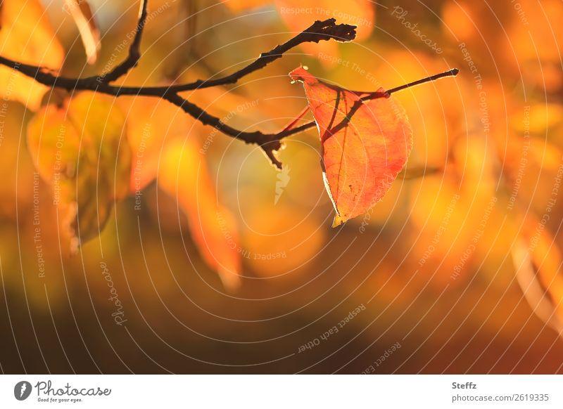 Vollherbst Umwelt Natur Pflanze Herbst Schönes Wetter Blatt Apfelbaumblatt Zweig Herbstlaub Garten Herbstlandschaft schön Wärme gelb orange Herbstgefühle