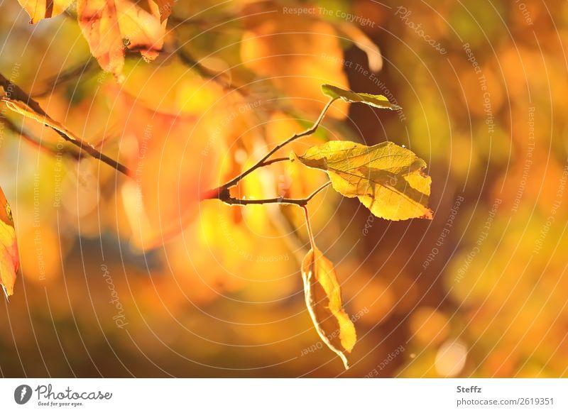 Ein Herbsttag Natur Pflanze Schönes Wetter Blatt Herbstlaub Apfelbaum Apfelbaumblatt Zweig Garten Obstgarten leuchten schön gelb orange Herbstgefühle