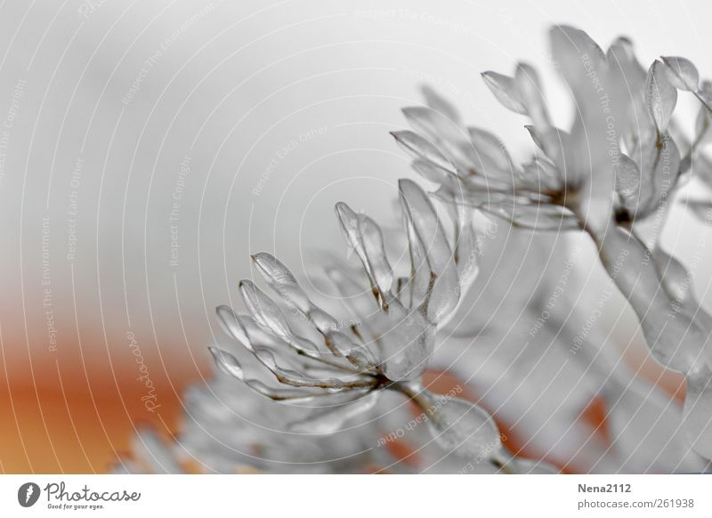 endlich *100* - eisblüte Natur Wasser weiß Pflanze Winter Wiese kalt Gras Garten Blüte Park Eis Klima Frost Sträucher Trauer