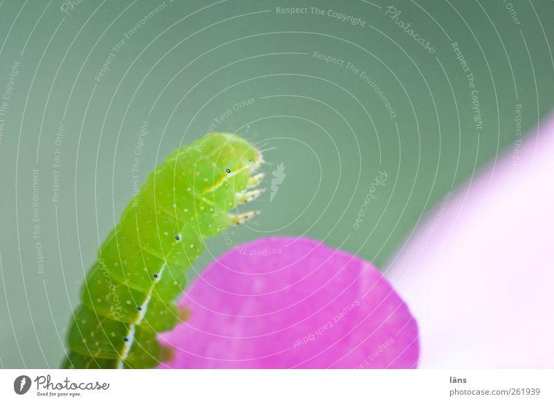 Spieglein, Spieglein... Raupe grün rosa Menschenleer leuchten Natur