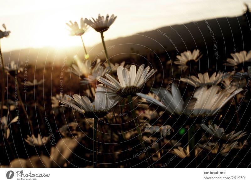 ein bisschen sommer... Umwelt Natur Landschaft Pflanze Sonne Sonnenaufgang Sonnenuntergang Sonnenlicht Frühling Sommer Schönes Wetter Gras Margerite Wiese Feld