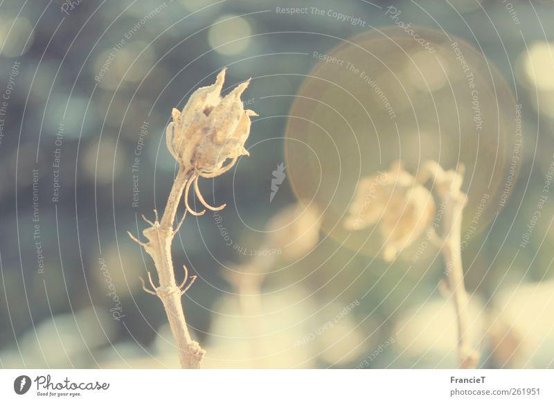 Winterblume Natur blau weiß schön Pflanze Sonne Winter Blume gelb grau klein Garten Blüte träumen Stimmung braun