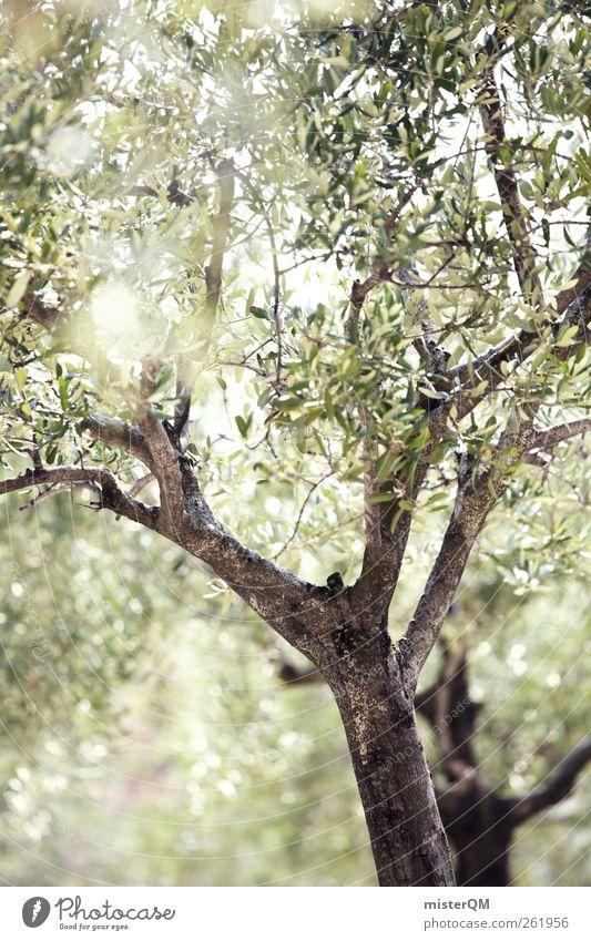 Olivenhain. Natur grün Baum Ferien & Urlaub & Reisen Pflanze Sonne Sommer Erholung Umwelt Landschaft hell Zufriedenheit ästhetisch Idylle Italien Allee