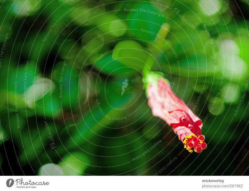 Awaking Amaryllis Natur grün schön rot Ferien & Urlaub & Reisen Pflanze Sommer Umwelt Glück Abenteuer ästhetisch außergewöhnlich authentisch fantastisch Blühend
